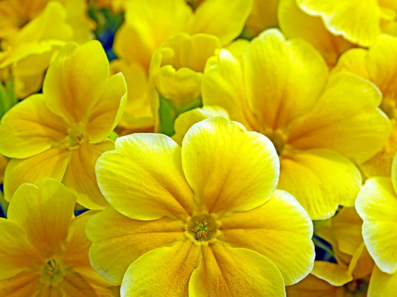 Prvosenka jarní – Petrklíč (Primula veris l.) jako lék
